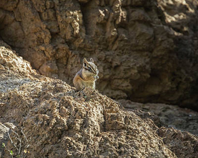 Photograph - Antelope Squirrel-img_718918 by Rosemary Woods-Desert Rose Images