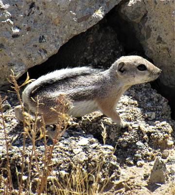 Photograph - Antelope Squirrel by Joshua Bales