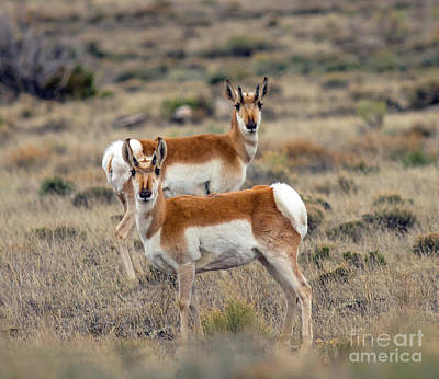 Photograph - Antelopes 2 by Steve Whalen