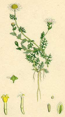 Flora Drawing - Anthemis Nobilis Common Chamomile by Unknown