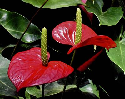 Photograph - Anthurium Couple by Lynda Anne Williams