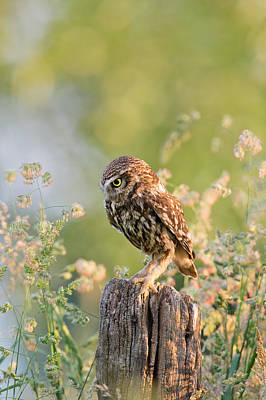 Little Owl Photograph - Anticipation - Little Owl Staring At Its Prey by Roeselien Raimond
