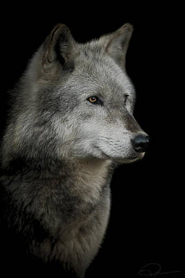Wolves Photograph - Anticipation by Paul Neville