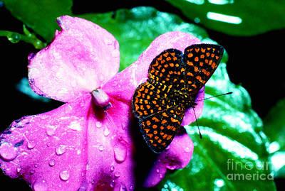Antillean Crescent Butterfly On Impatiens Art Print by Thomas R Fletcher