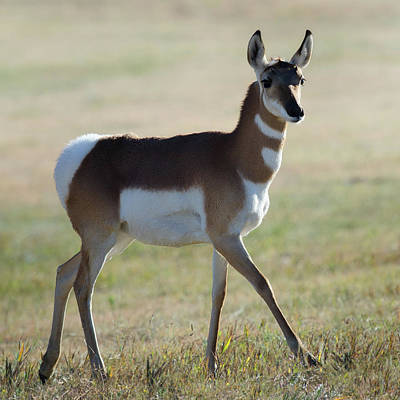 Photograph - Antilope by OLena Art Brand