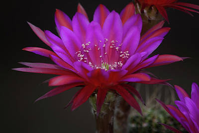 Photograph - Antimatter Cactus Bloom by Ruth Jolly