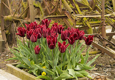 Photograph - Antique Burgundy Tulips by Louise Magno