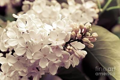 Photograph - Antique Lilacs by Elaine Manley