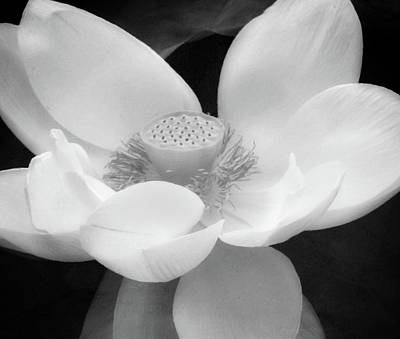 Photograph - Antique Lotus Black And White by Georgiana Romanovna
