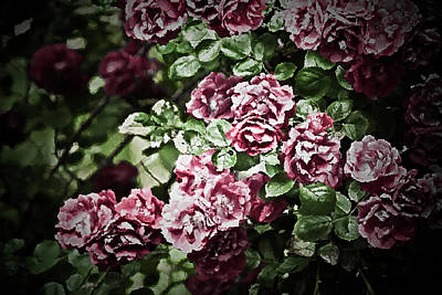 Photograph - Antique Pink Roses by  Onyonet  Photo Studios