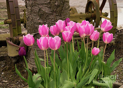 Photograph - Antique Pink Tulips by Louise Magno
