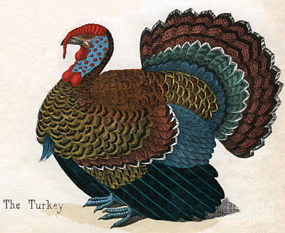 Hand Engraving Drawing - Antique Print Of A Turkey, 1859  by American School