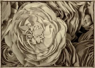 Antique Ranunculus Original