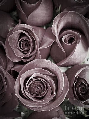 Roses Royalty-Free and Rights-Managed Images - Antique Roses by Edward Fielding