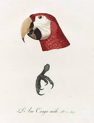 Scarlet Macaw Painting - Antique Scarlet Macaw Illustration by MotionAge Designs