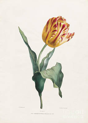 Delicate Drawing - Antique Tulip Print by Valentine Bartholomew