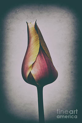 Photograph - Antique Tulip by Randy J Heath