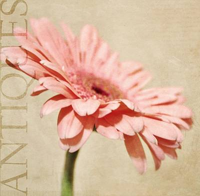 Gerber Daisy Photograph - Antiques by Cathie Tyler