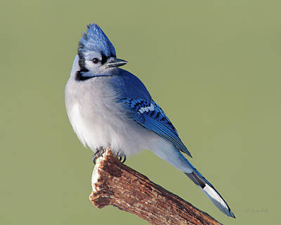 Photograph - Antler Billy Blue Jay by Gerry Sibell