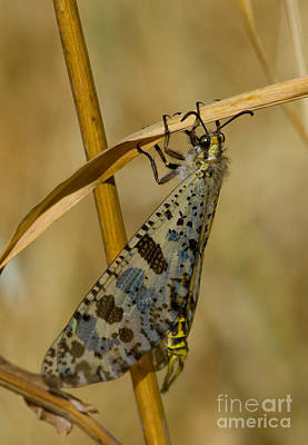 Greek Insects Photograph - Antlion In Greece by Steen Drozd Lund