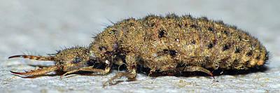Photograph - Antlion Larvae Macro Focus Stack by Larah McElroy