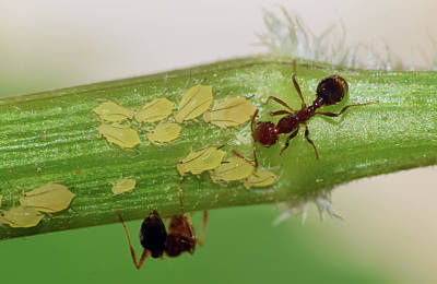 Photograph - Ants And Aphids by Larah McElroy