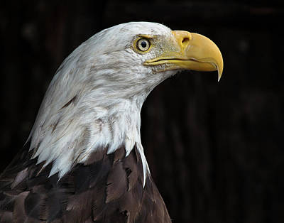 Photograph - Anxious Eagle by Greg Nyquist