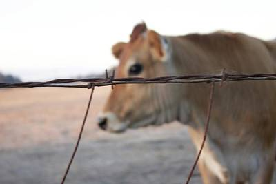Photograph - Any Cow  by Lora Lee Chapman