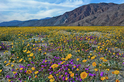 Photograph - Anza Borrego Desert Flower Fields by Kyle Hanson