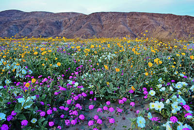 Photograph - Anza Borrego Desert Super Bloom by Kyle Hanson