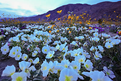 Photograph - Anza Borrego Desert Wildflowers Evening by Kyle Hanson