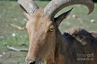 Photograph - Aoudad Barbary Sheep2 by Inspirational Photo Creations Audrey Woods