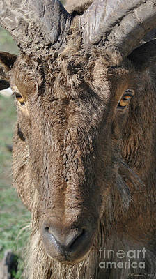 Photograph - Aoudad Sheep Portrait by Inspirational Photo Creations Audrey Woods