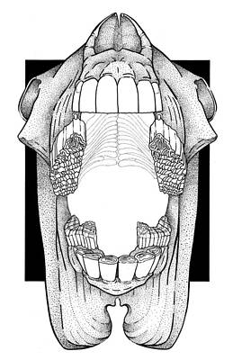 Drawing - Ap View Dental Skull by Dawn Sperry