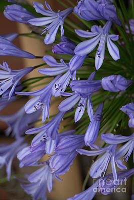 Photograph - Agapanthus by Teresa Wilson