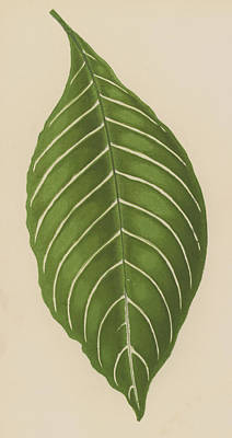 Stripe Drawing - Aphelandra Leopoldii  by English School