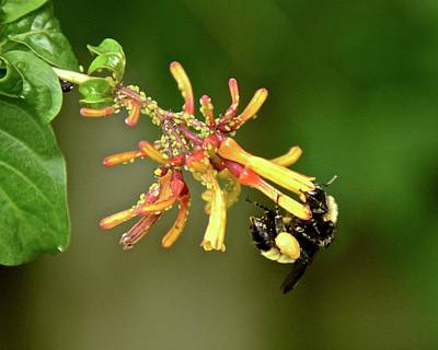 Photograph - Aphids And A Honey Bee by Carol Bradley