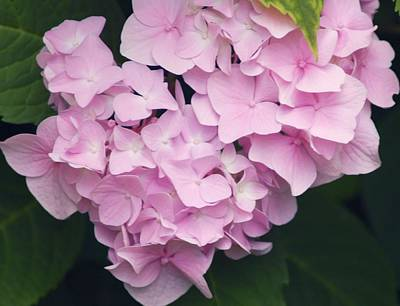Abstract Graphics - apink Hydrangea by Kathleen Struckle