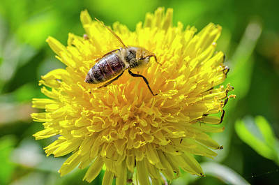 Photograph - Apis Honey Bee by Steven Brodhecker