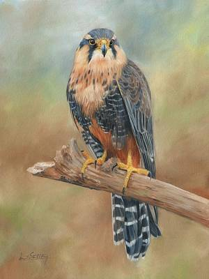Falcon Painting - Aplomado Falcon by David Stribbling