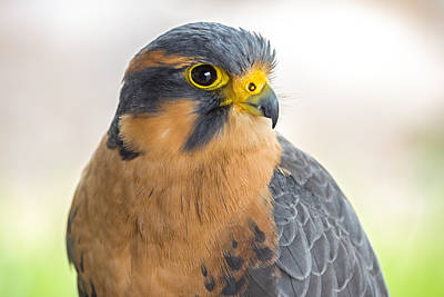 Photograph - Aplomado Falcon Profile by Loree Johnson