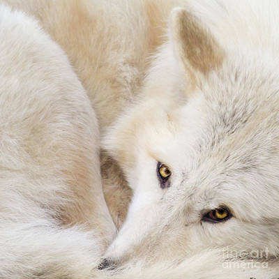 Photograph - Aponi Gray Wolf by Sonya Lang