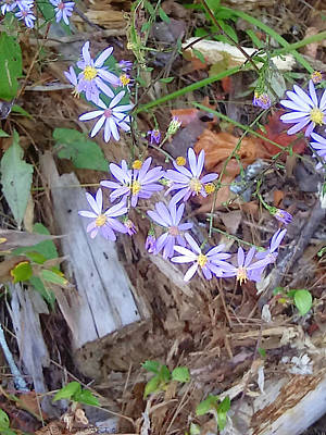 Photograph - Appalachian Blue Flowers by Kathy Barney