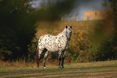 Photograph - Appaloosa Autumn 3 by David Dunham