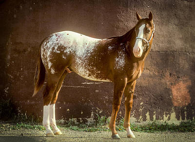 Photograph - Appaloosa Horse by John Brink