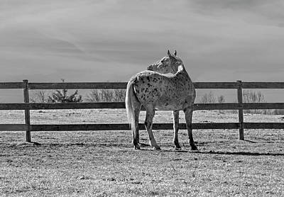 Photograph - Appaloosa Looking Back by Jean Haynes