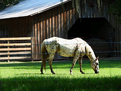 Appaloosa Morning Art Print