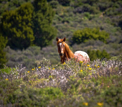 Photograph - Appaloosa Mustang Horse by Waterdancer