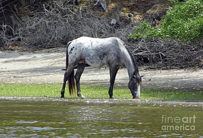 Photograph - Appaloosa Stallion by D Hackett
