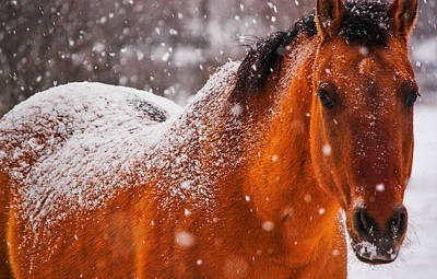 Red Dun Horse Photograph - Appaloosa With Snow Spots by Jacki Smoldon